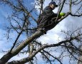 Řez ruční pilkou při prosvětlování koruny ovocného stromu