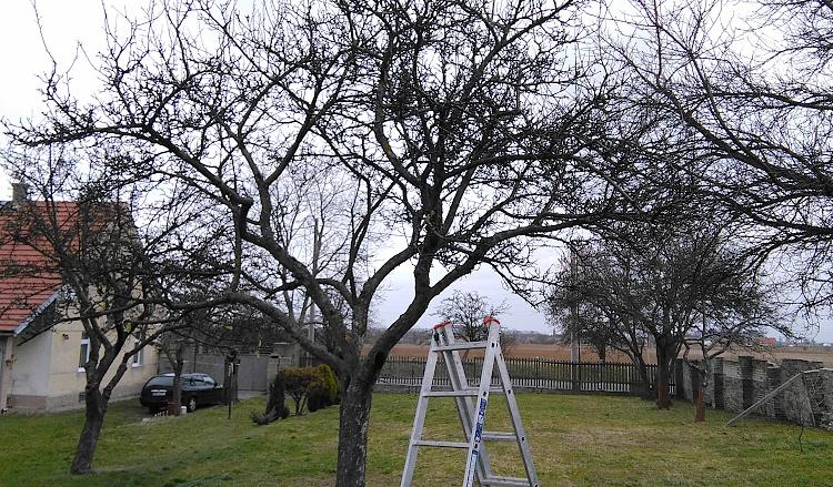 Strom před prosvětlením koruny
