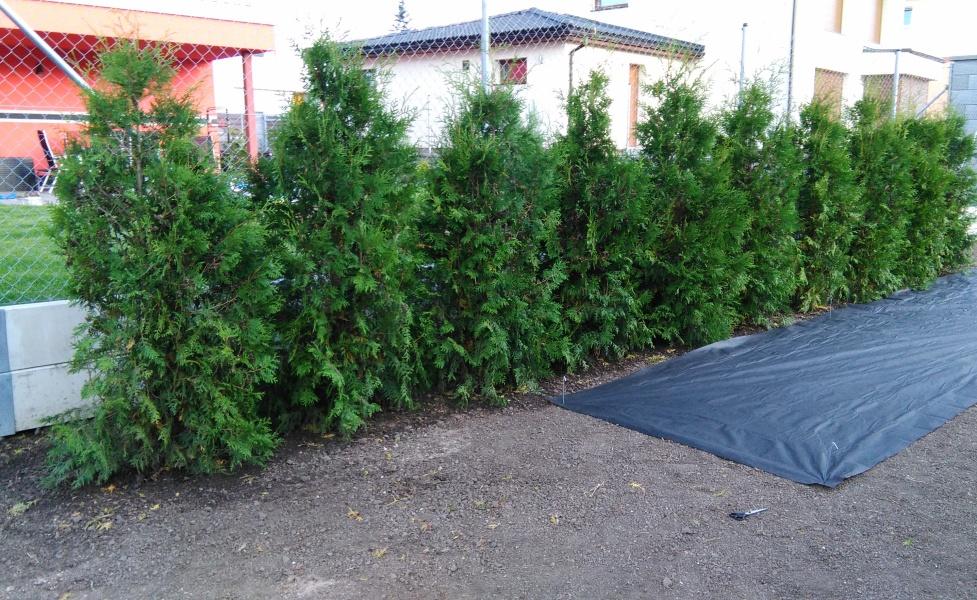 Před výsevem proběhla výsadba živého plotu z Thújí