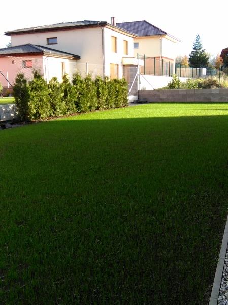 Po třech týdnech se již objevil krásně zelený travní pažit